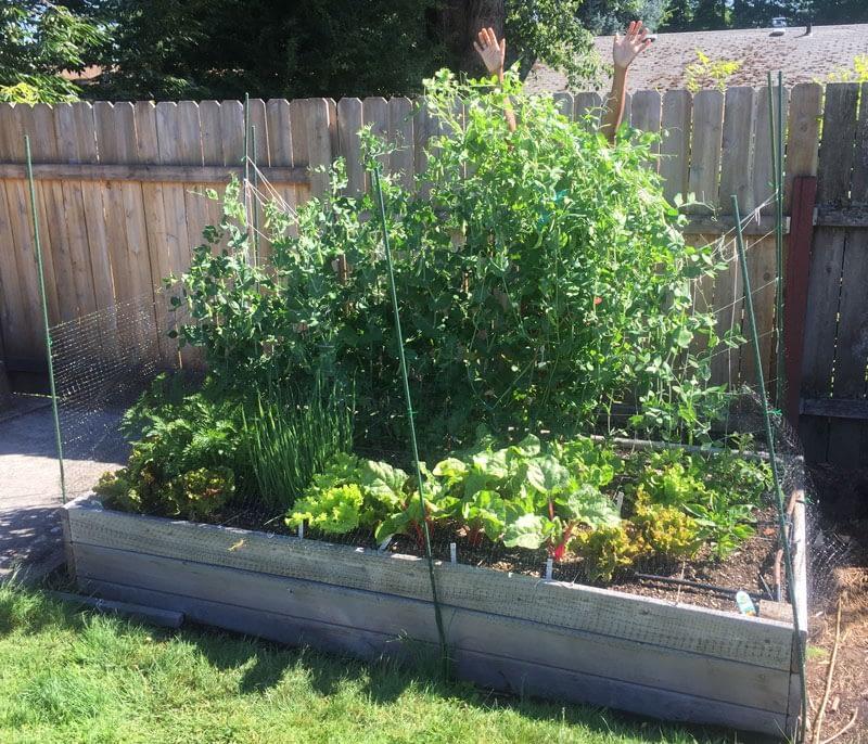 Kronda hidden by tall snap peas in the garden